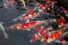 Carpe de poissons dans la piscine photo stock