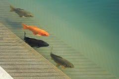 Carpe enormi in lago Fotografia Stock Libera da Diritti
