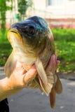 Carpe et x28 ; fish& x29 ; dans des mains A vendre Images libres de droits
