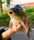 Carpe et x28 ; fish& x29 ; dans des mains A vendre Photo libre de droits