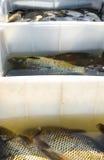 Carpe et x28 ; fish& x29 ; dans des mains A vendre Image stock