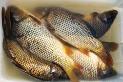 Carpe et x28 ; fish& x29 ; dans des mains A vendre Photographie stock