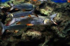 Carpe folle, poisson de sultan Photos stock