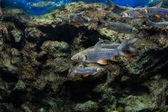 Carpe folle, poisson de sultan Image libre de droits