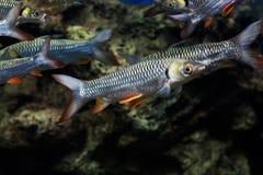 Carpe folle, poisson de sultan Photo libre de droits