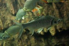 Carpe folle, poisson de sultan Photo stock