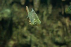 Carpe folle, poisson de sultan Images libres de droits