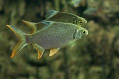 Carpe folle, poisson de sultan Photos libres de droits