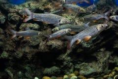 Carpe folle, poisson de sultan Photographie stock libre de droits