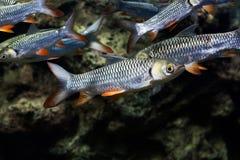 Carpe folle, poisson de sultan Photographie stock