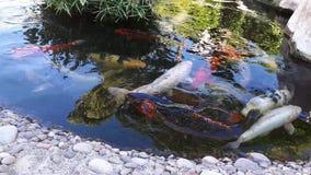 Carpe japonaise dans l'étang, un plus grand poisson dans l'étang, étang ornemental Le poisson lumineux décoratif flotte dans un é clips vidéos