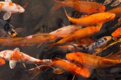Carpe de poisson rouge image libre de droits image 34439426 for Croisement carpe koi poisson rouge