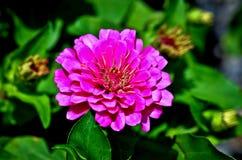 Carpel av zinniaen Royaltyfri Fotografi