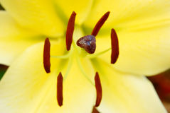 Carpel of flower. Beautiful yellow flower in Thailand Royalty Free Stock Photography