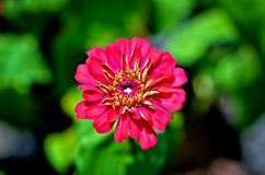 Carpelle de zinnia Photo libre de droits