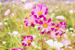 Carpelle jaune coloré en fleur rose de cosmos Photos libres de droits