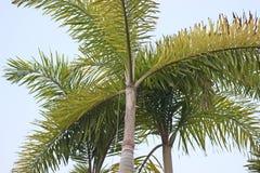 Carpentaria Palm. Carpentaria Palm are The ornamental trees Stock Photos
