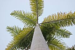 Carpentaria Palm. Stock Image