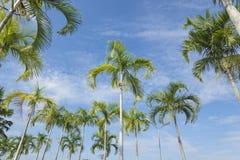 Carpentariapalm (Carpentaria zugespitzt (H. Wendl. U. Drude) Becc. Stockbild