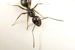 Carpenter ant Stock Photos