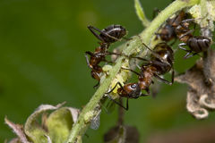 Carpenter ant and aphids Royalty Free Stock Image