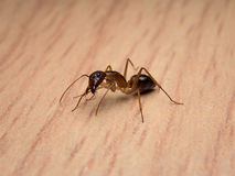 Carpenter Ant Camponotus Sp. cleaning body. Close-up image of  worker Carpenter Ant Camponotus Sp. cleaning body on wooden table Stock Photography
