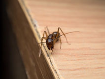 Carpenter Ant Camponotus Sp. looking on wooden. Close-up and front view image of  worker Carpenter Ant Camponotus Sp. looking on wooden table Royalty Free Stock Photo