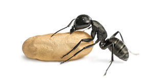 Carpenter ant, Camponotus vagus, carrying an egg Royalty Free Stock Photography