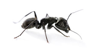 Carpenter ant, Camponotus vagus Royalty Free Stock Photo