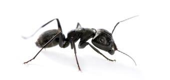 Carpenter ant, Camponotus vagus royalty free stock photo