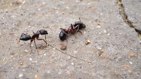 A Carpenter ant Checking another dead ant royalty free stock photos