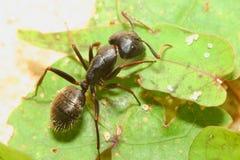 Carpenter Ant closeup royalty free stock photos