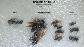 Carpenter Ant Colony. An identification photo of Carpenter Ant Colony members. This particular genus is Campntonus Pennsylvanicus and is found mostly in the Royalty Free Stock Photos