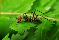 Carpenter ant on a leaf royalty free stock photos