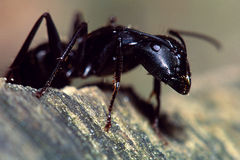 Carpenter Ant Portrait. Portrait of a carpenter ant showing detail of the head and eye Stock Photos