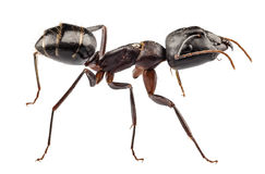 Carpenter Ant species camponotus vagus Stock Photos