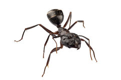Carpenter Ant species camponotus vagus Royalty Free Stock Images