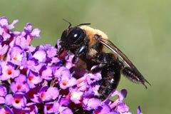 Carpenter Bee. On a butterfly bush flower stock photos