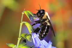 Carpenter Bee. Nactaring On Blue Flowers, Colorful Background, Xylocopa micans stock photography