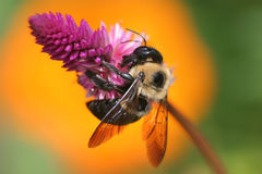 Carpenter Bee. Nactaring On A Pink Flower, Xylocopa micans royalty free stock image