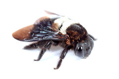 Carpenter bee. On a white background royalty free stock photography