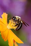 Carpenter Bee Stock Photos
