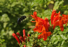 Carpenter Bee. Hovering stock image