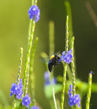 Carpenter Bee. Foraging amongst the flowers of the common snakeweed royalty free stock images