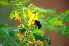 Carpenter Bee. Busy Pollinating Yellow flowers stock images