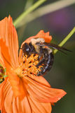Carpenter Bee. On An Orange Flower, Xylocopa micans royalty free stock image
