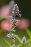 Carpenter Bee on Anise Hyssop Flower. Eastern carpenter bee (Xylocopa virginica) taking nectar from an anise hyssop flower. Portrait orientation stock photos