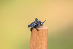 Carpenter bee in background Stock Images