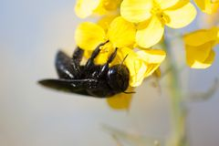 Carpenter bee. Bees wing eyes insect insects royalty free stock image