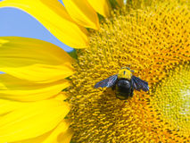 A carpenter bee on blooming sunflower.  Royalty Free Stock Photos